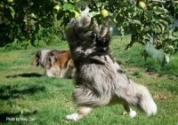 Photo of Collie jumping up into an apple tree.