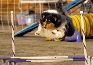 Photo of Collie jumping over Agility boards.