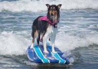 Photo of Collie riding on a surf board in the ocean waves.