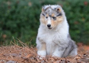 Photo of a Blue Merle Collie puppy sitting in pine needles.