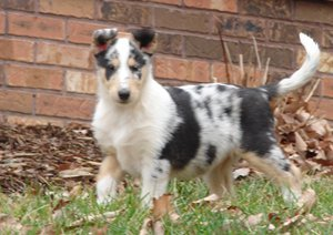 Photo of Ch. Blu Ridge Say It Ain't So as a puppy. He is a Blue Merle smooth Collie.