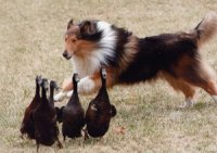 Sable Collie herding ducks.