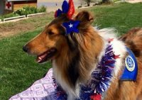 Sable Collie dressing up for the 4th of July.