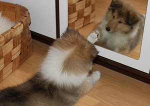 Collie puppy playing in the mirror.