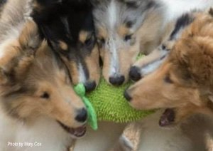 Image of 4 Collie puppies playing tug-of-war with a stuffed toy.