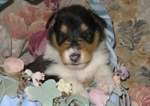 Photo of a 3 weeks old Tri colored Collie puppy sitting in silk flowers.