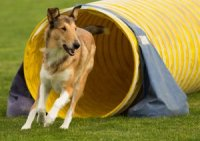 Photo of smooth sable collie running thru the agility tunnel.