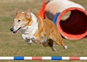 Smooth collie jumping over the hurdle in agility.
