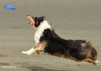 Photo of tri rough collie catching a Frisbee.