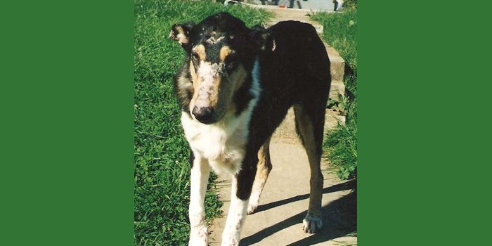 Smooth collie with DM for article.