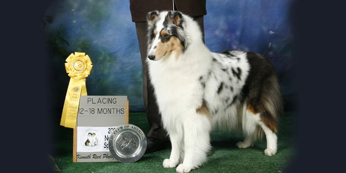 Collie posing in show photo for article on COLLIE KALEIDOSCOPE.