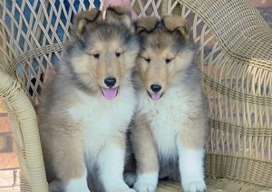 Photo of GCH Blu Ridge Let It Ride and his litter sister sitting in a wicker chair.