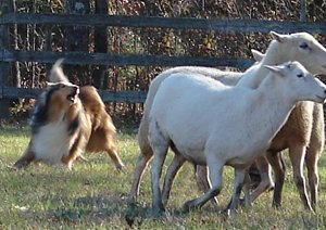 Photo of GCH Blu Ridge Let It Ride herding sheep.