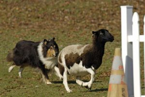 Tri colored Collie herding sheep for article on COLLIE KALEIDOSCOPE