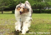 Rough Blue Merle Collie running towards the camera. Photo by Yoshimi.