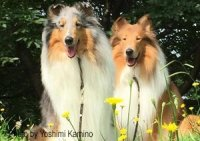 Photo of a blue merle collie and a sable collie sitting in flowers.