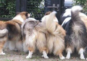 Photo of 4 collies wagging tails.