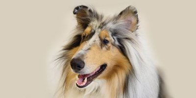 Photo of a Blue Merle Rough Collie for article.