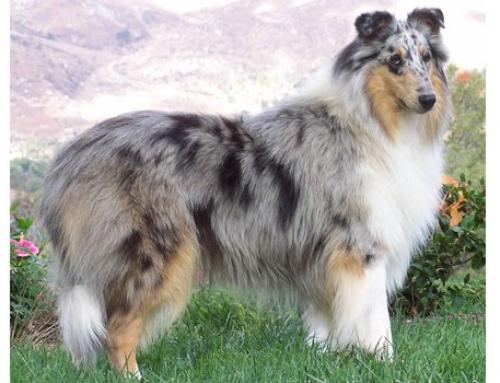 Genetics of Merle Patterns in Dogs