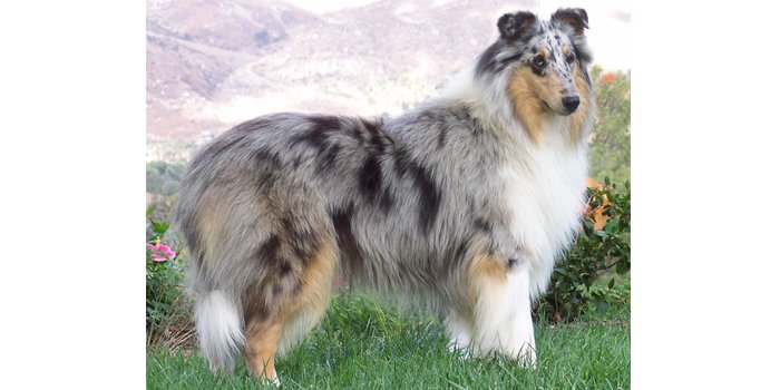 Blue Merle Collie for Articles.